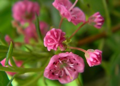 Laurel 5 x 7 (Violetentity) Tags: summer nature hiking wildflowers saintjohn urbanpark rockwoodpark hikingtrails violetentity rockwoodparknaturehikinghikingtrailsnaturetrailswildflowerswildflowerssaintjohn nbsaintjohnvioletentity