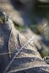 subtle magnetism (craiginvan) Tags: macro nature leaf frost dof bokeh belief diamond encrusted macromondays