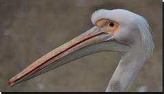 "... ""Beak"" ... (Claudio Gennari ...""Cogli l'attimo ferma il tempo"") Tags: nature animal beak nikond3 thewonderfulworldofbirds claudiogennari mothernaturesgreenearth bioparkrome"