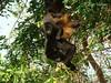 Alouatta palliata (luvaduju09) Tags: costarica mamiferos alouattapalliata qualitygold