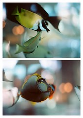 Tropical Fish Faces (La Branĉaro) Tags: fish film collage swimming austin aquarium restaurant 1 diptych texas dof kodak bokeh olympus depthoffield fishtank 35mmfilm seafood 100 om om1 fishface underexposed tropicalfish oysterbar shallowdepthoffield perlas 50mmf18 ektar seafoodrestaurant fishfaces picasaedited 50mmzuiko ektar100