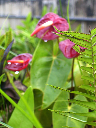 Anthuriums and ferns