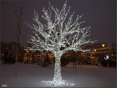 "Holiday lights (bbic) Tags: park winter holiday tree lights ornament bulbs flickraward"" sebastianpark 5ian2011"