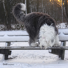 whats that (GdeB fotografeert) Tags: lisa oes oldenglishsheepdog boswachterijexloo wwwshaggybearsnl wwwonzeoesnl rheaenlisa gdebfotografeert januari2010 vakantieindrenthe