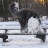 whats that (GdeB fotografeert) Tags: lisa oes oldenglishsheepdog boswachterijexloo wwwshaggybearsnl wwwonzeoesnl rheaenlisa gdebfotografeert januari2010 vakantieindrenthe