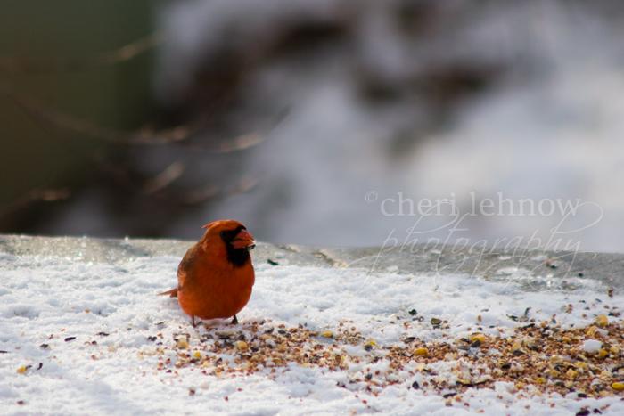 IMG_4604_cardinal.jpg