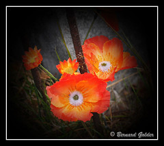 Poppies (Bernzfotos - Bernard Golder Photography) Tags: flowers newzealand plants sun flower nature leaves sunshine garden petals flora nikon nz wellington nikkor d300 nouvellezlande wellingtoncity wellingtonnz nikond300 nikkorvr18105mmf35 bernzfotos