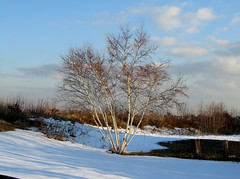 Birch Landscape (hpaich) Tags: desktop wallpaper tree newjersey background nj birch monmouthcounty desktopwallpaper desktopbackground snownewjerseyshorebeachwaterbayocean
