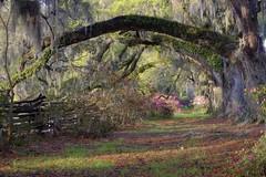 oak trees (Philippe PAUGOIS) Tags: trees oak azaleas south charleston plantation carolina magnolia