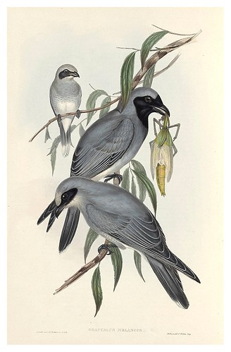012-Cuervo de mascara negra-The Birds of Australia  1848-John Gould- National Library of Australia Digital Collections