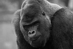 In The Air Tonight (Ian Lambert) Tags: africa uk blackandwhite bw mountain nature tv leicestershire conservation rwanda advert ape tropical congo cloudforest cadburys primate chimps philcollins midlands twycrosszoo silverbackgorilla intheairtonight