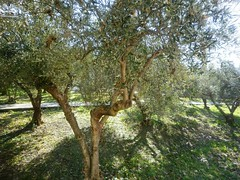 Olive trees (AriadnefromGreece) Tags: winter tree green colours olive thursday 2011 poppytalk