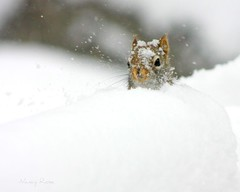 Peek-a-boo Fred! (Nancy Rose) Tags: hello snow nose snowflakes eyes squirrel peekaboo whiskers curious hiding