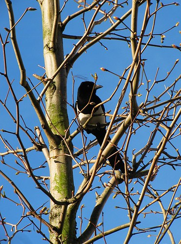 Magpie in a budding tree