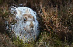 Mountain Hare (PentlandPirate of the North) Tags: blue white district derbyshire peak tundra bleaklow lepus timidus mountainhare