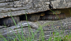 Watch Your Step, Someone May Be Watching You (jrussell.1916) Tags: snakes copperhead wildlife nature pitvipers logcabin greatsmokymountainsnationalpark tennessee canonef70200f4lis14tc