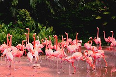 Pink beauties (Rajavelu1) Tags: pink birds birdsanctuary jurongbirdspark singapore art aroundtheworld artland creative canon6d canonef70200f4llens travel toor flamingo naturemasterclass