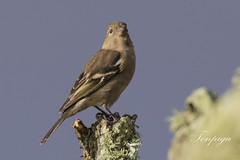 fringuello (Fringilla coelebs) (Tonpiga) Tags: tonpiga uccelliinlibert faunaselvatica fringuello fringillacoelebs