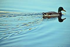 male duck/ Entenmnnchen (CreactCult) Tags: ente see blau duck sea blue nikond5300