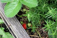 sneaky strawberries