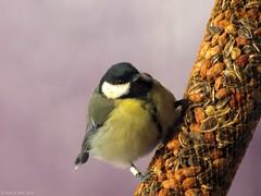 Great Tit / Koolmees (Rick & Bart) Tags: winter bird nature garden natuur tuin greattit vogel koolmees botg rickbart thebestofday gnneniyisi rickvink