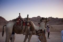 IMG_9644 (c240amg) Tags: canon bread eos desert egypt camel ii 5d mk bedouin