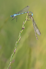 sie hngt so an ihm (Andreas Th. Hein) Tags: macro fotografie natur insects makro damselfly insekten odonata enallagmacyathigerum libellen dagonfly gemeinebecherjungfer