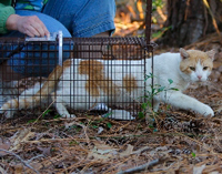 Feral cat who was neutered being released from a cat trap