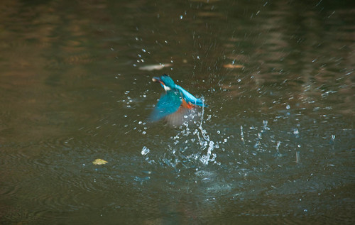 Kingfisher coming out of water