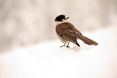 Alone (Deby Dixon) Tags: mountain snow bird tourism nature photography washington nationalpark travels nikon paradise jay explore friendly snowing frontpage deby avian allrightsreserved 2010 grayjay mtrainiernationalpark debydixon debydixonphotography