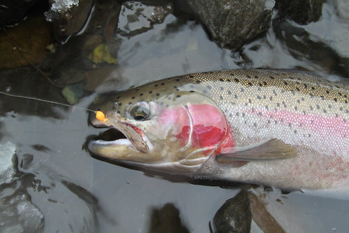 Wallowa River Steelhead