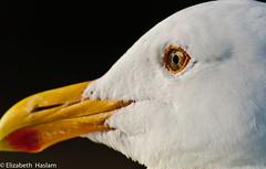 Reflections in a golden eye (Elizabeth Haslam) Tags: ocean california seascape bird earth gull highway1 morrobay centralcoast cambria morrorock kestrel sparrowhawk 2010 skywater highway46 fiscaliniranch