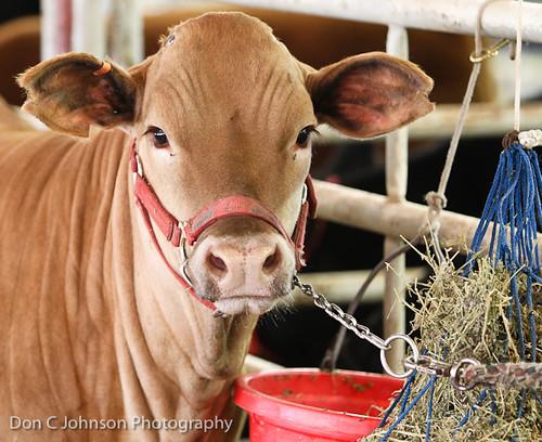 Terrell FFA Holiday Heifer Show-2175