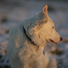 Timo VI (Timoleon Vieta II) Tags: winter portrait snow beautiful sheepdog selftaught petportrait timoleon