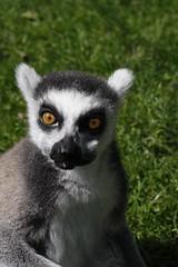 Ring-tailed Lemur (Kelly Emond) Tags: zoo newquay lemur ringtailed