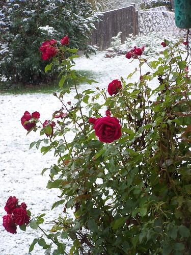 nov 125 Roses in the snow