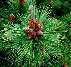 Green Greetings (keithhull) Tags: unitedstates newyorkstate fireisland conifer