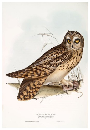 017-Buho de orejas cortas- The birds of Europe Tomo I-1837- John Gould