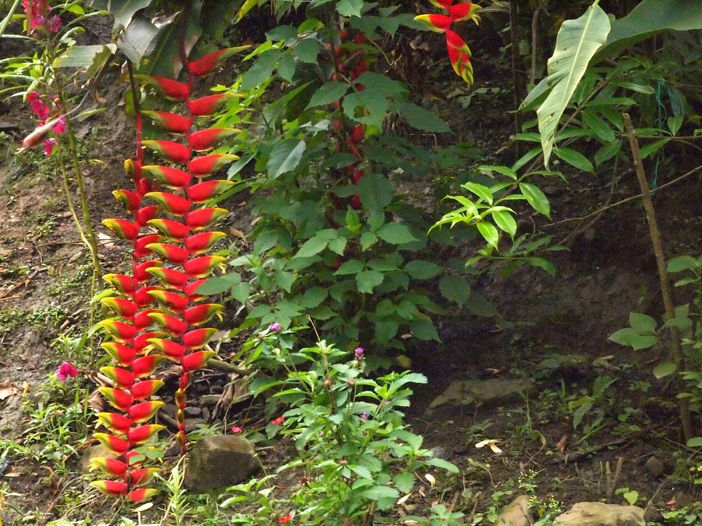 Flora De La Selva Peruana Platanillo Alpinia Purpurata: The World's Best Photos Of Flower And Platanillo