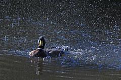 emb?   mai fatta una doccia? (paola.bottoni) Tags: italy natura uccelli thewonderfulworldofbirds