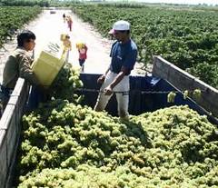 Primer pronóstico del INV dice que habrá un 18% más de uva en San Juan