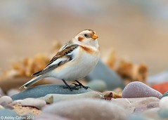 Snow Bunting - I Claim This Pebble  [Last Image 2010] - Explored Front Page! (Ashley Cohen Photography) Tags: winter bird nature flickr britishwildlife monopod snowbunting northwales canon400mmf56l unitedkingdomuk canoneos7d