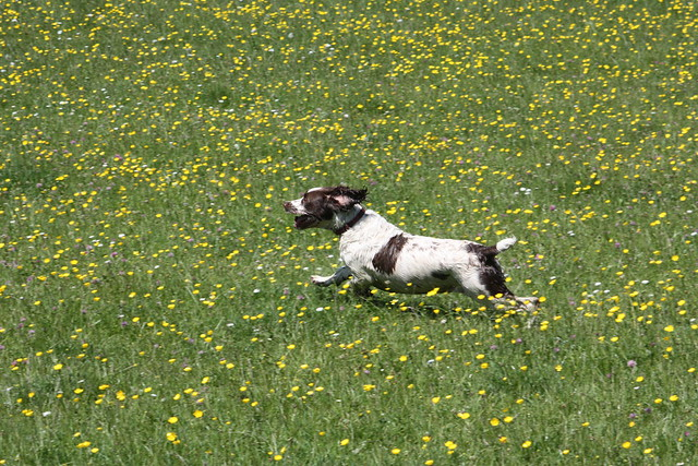 Dog in field of buttercups