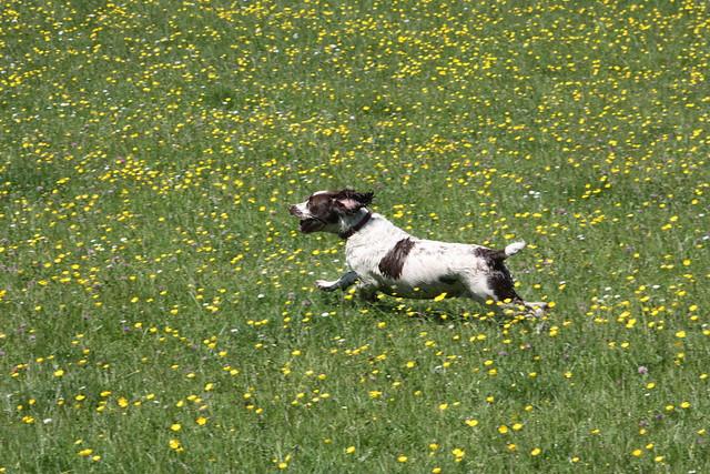 Dog in field of buttercups