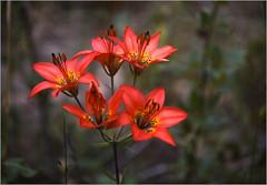 (joeldinda) Tags: flower lily upperpeninsula srt101 joeldinda obviouslyalilyofsomesort thecolorsherematchtheslide