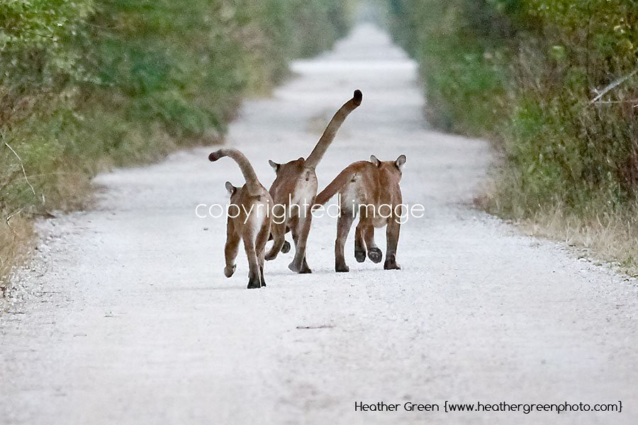 Florida Panther Kittens copyright Heather Green