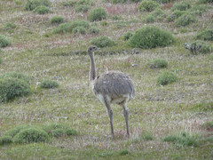 emu looking other way (EazyIanish) Tags: chile patagonia southamerica emu torresdelpaine 112210120710