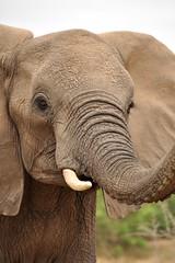 Challenge (Lauren Barkume) Tags: africa winter wild elephant game nature animal southafrica grey spring eyes october african wildlife reserve safari trunk challenge krugernationalpark kruger 2010 tusk wrinkled gamedrive laurenbarkume gettyimagesmeandafrica1
