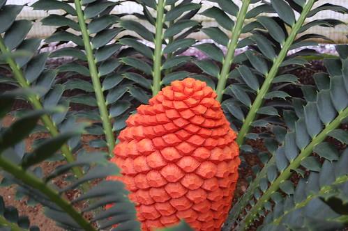 Encephalartos ferox.
