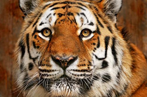 [フリー画像] 動物, 哺乳類, ネコ科, 虎・トラ, 201101101100